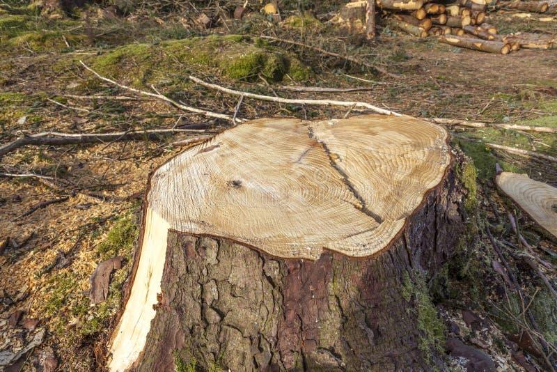 Coto de árvore conífera foto de stock