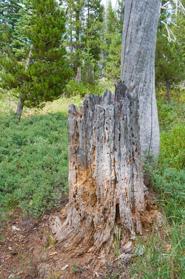 Coto de árvore na floresta imagem de stock royalty free