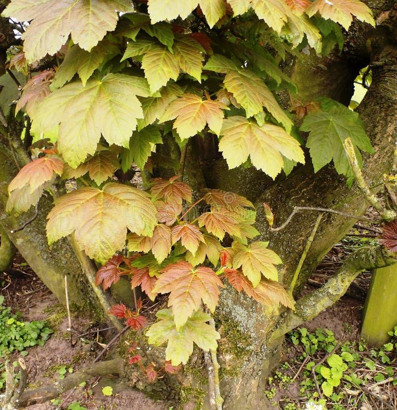 Coto de árvore natural com folhas, Crookham, Northumberland Reino Unido imagens de stock