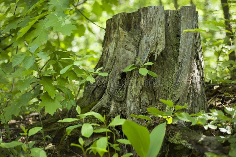 Coto de ?rvore velho da floresta entre verdes da mola fotos de stock