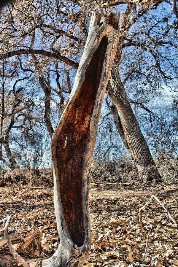 Coto de árvore velho do Cottonwood imagem de stock royalty free