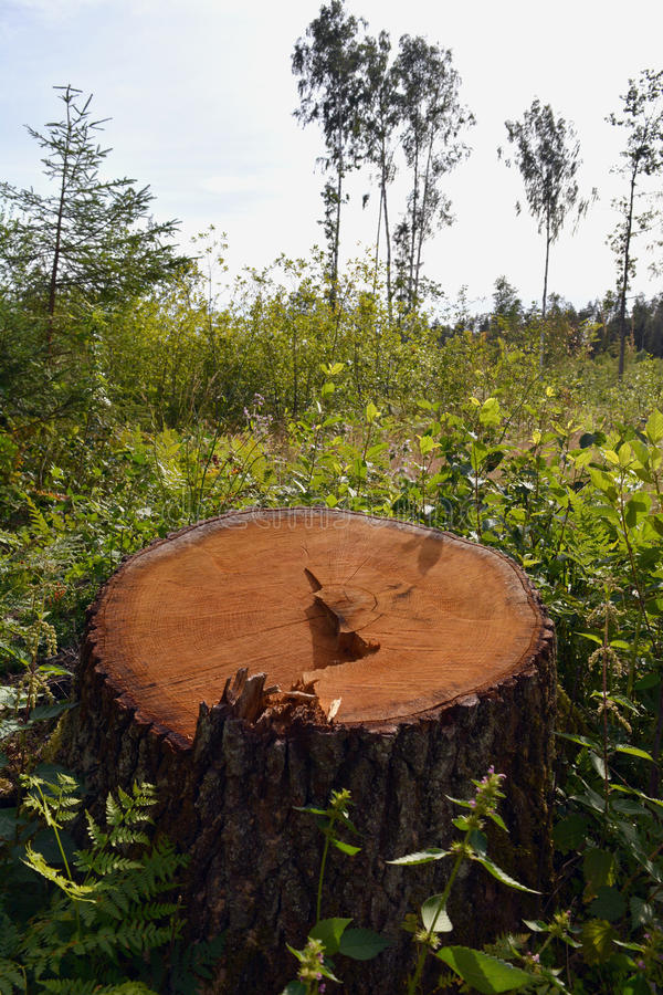 Coto de carvalho na floresta verde da mola fotografia de stock royalty free