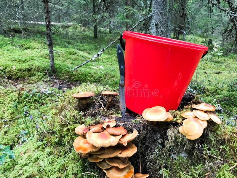 Coto na floresta com muitos cogumelos comestíveis saborosos bonitos com uma cubeta vermelha e uma faca afiada nas madeiras fotografia de stock royalty free