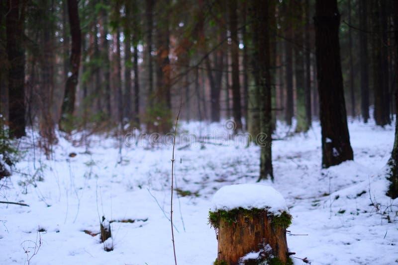 Coto na floresta do inverno imagens de stock royalty free