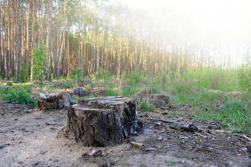 Coto na floresta, o restante da ?rvore abatida, desflorestamento do vidoeiro fotografia de stock royalty free