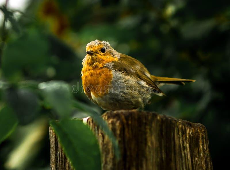 Coto pequeno de Readbreast Robin Sitting Attentive On Tree na floresta foto de stock royalty free