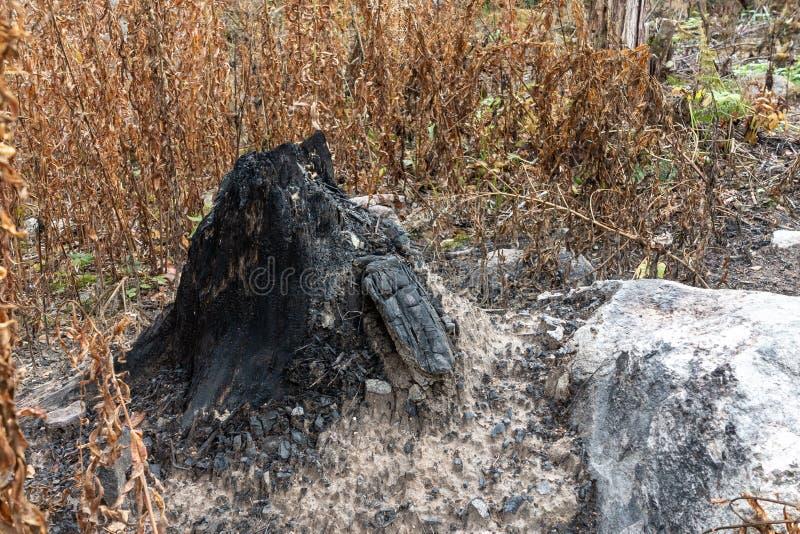 Coto preto, carbonizado na ecologia da floresta e conceito da conservação da floresta imagem de stock