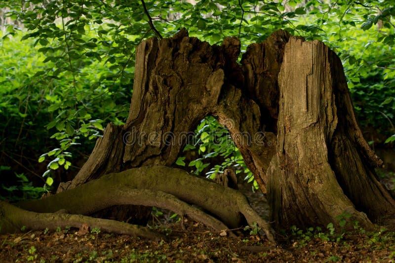 Coto velho da árvore imagens de stock