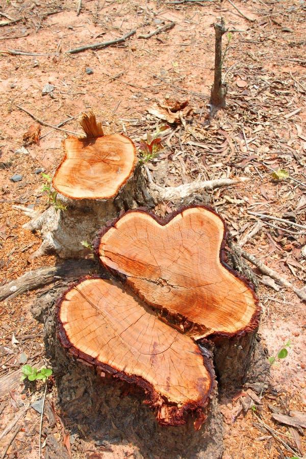 Cotoes de árvore após o desflorestamento fotografia de stock royalty free