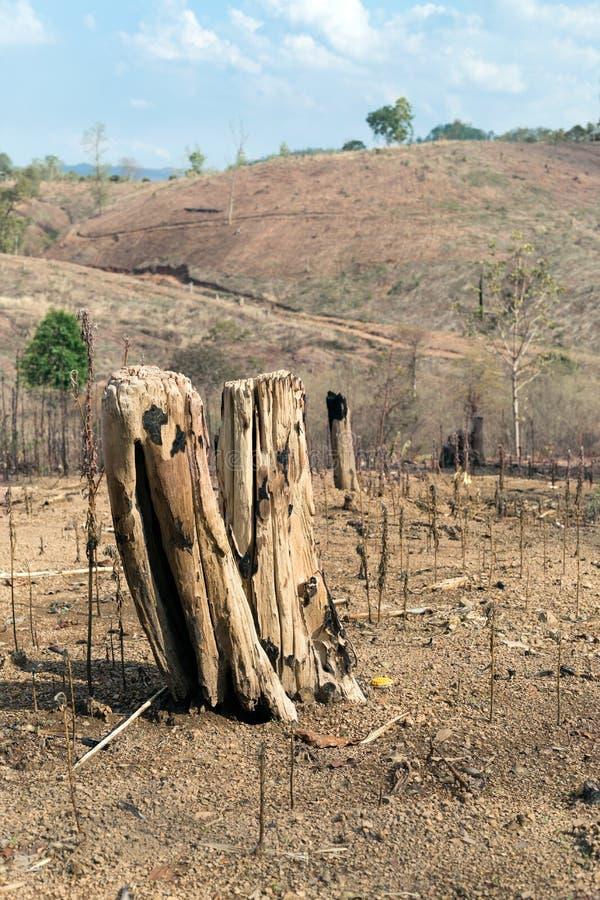 Cotoes de árvore após o desflorestamento e queimadura para a agricultura fotografia de stock