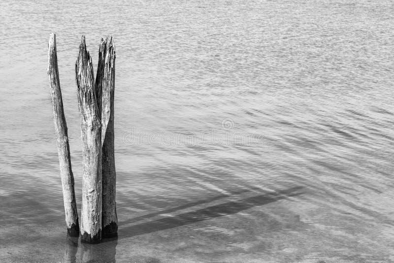 Cotoes de árvore inoperantes no lago preto e branco foto de stock royalty free