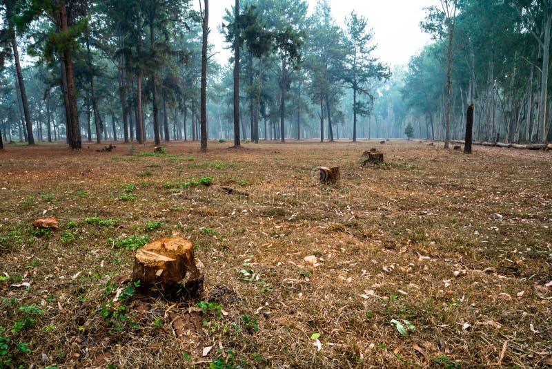 Cotoes de árvore no meio da floresta do pinheiro imagem de stock royalty free