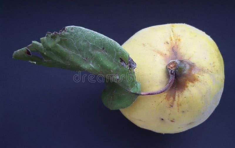 Cotogna organica fresca con una foglia Frutta fresca e sana fotografie stock libere da diritti