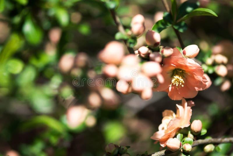 Cotogna rosa-chiaro fotografia stock