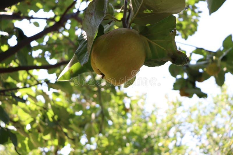 Cotogna in un albero in un'azienda agricola organica fotografia stock libera da diritti