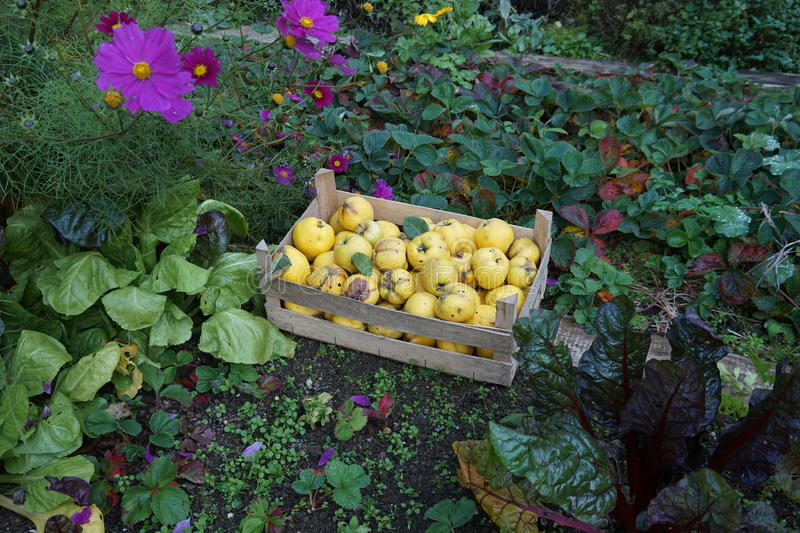 Cotogne in un letto di verdure fotografia stock