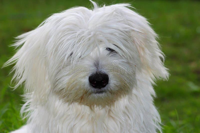 coton de puppy褴褛tulear 免版税图库摄影