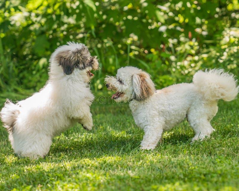 Coton de Tulear狗小狗在阳光下在草 库存图片