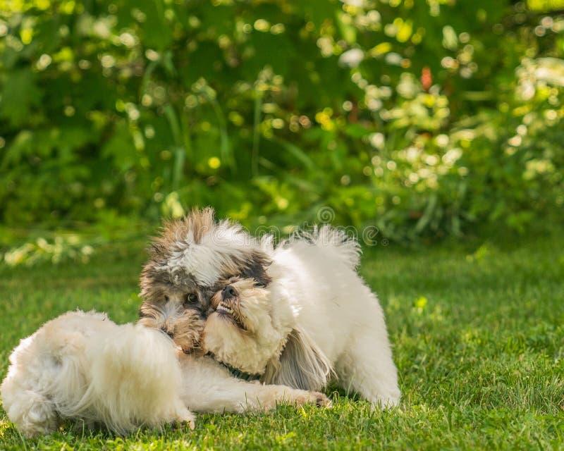 Coton de Tulear狗小狗在阳光下在草 免版税图库摄影