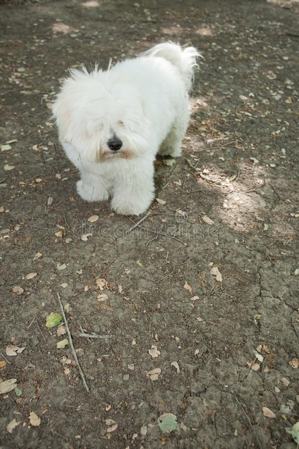 Download Coton de Tulear stock image. Image of breed, pedigree - 10287513