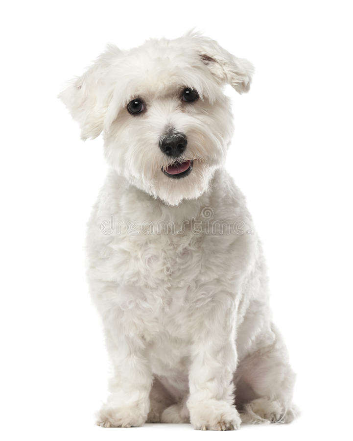 Free Coton De Tulear, 22 Months Old, Sitting Royalty Free Stock Photography - 27815947
