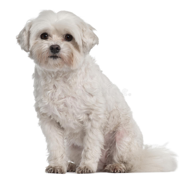 Free Coton De Tulear, 7 Years Old, Sitting Stock Photography - 16821982