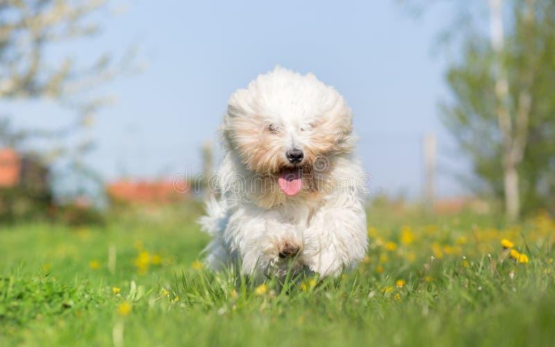 Coton de tulear dog run. In spring meadow stock photography