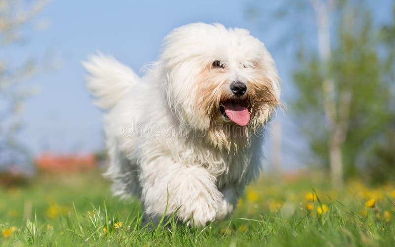 Coton de tulear dog run in spring. Meadow royalty free stock photos