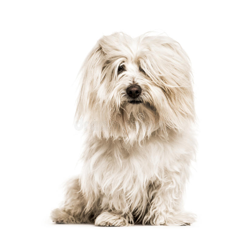 Free Coton De Tulear Looking At The Camera, Isolated Royalty Free Stock Images - 72891659