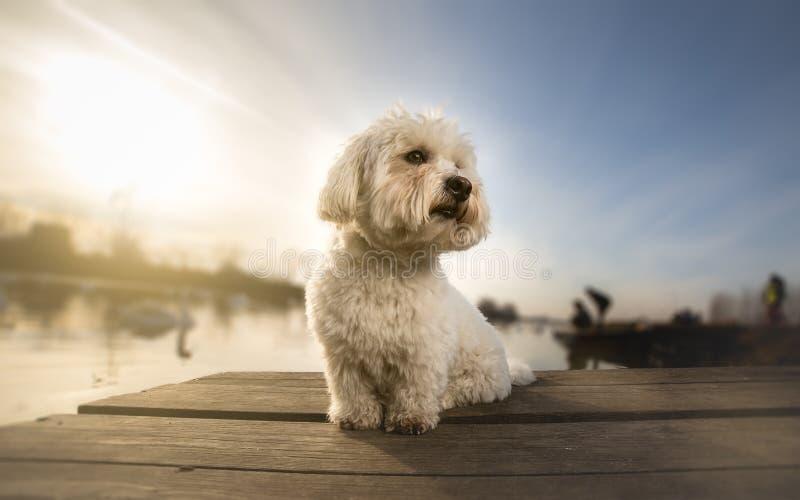 Coton de tulear portrait dog on dock. Coton de tulear portrait dog on the dock royalty free stock images