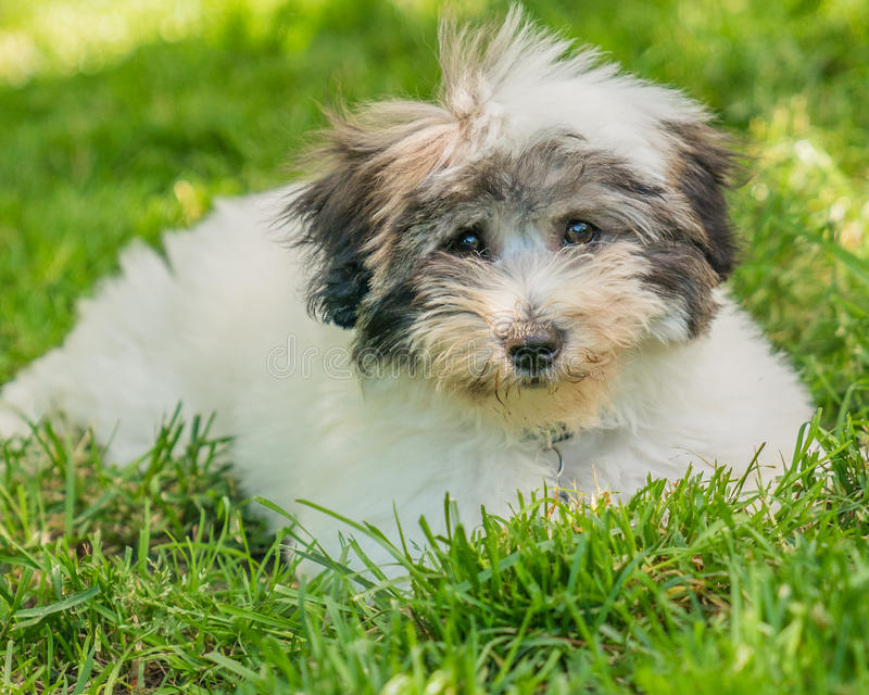 Coton de Tulear terrier puppy in the sun on the grass stock photography