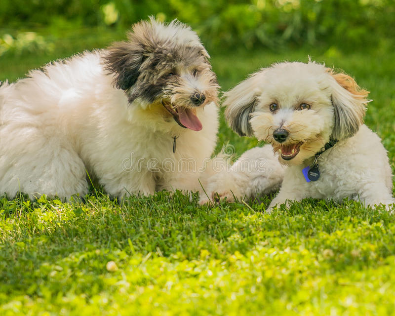 Coton de Tulear terrier puppy in the sun on the grass stock images