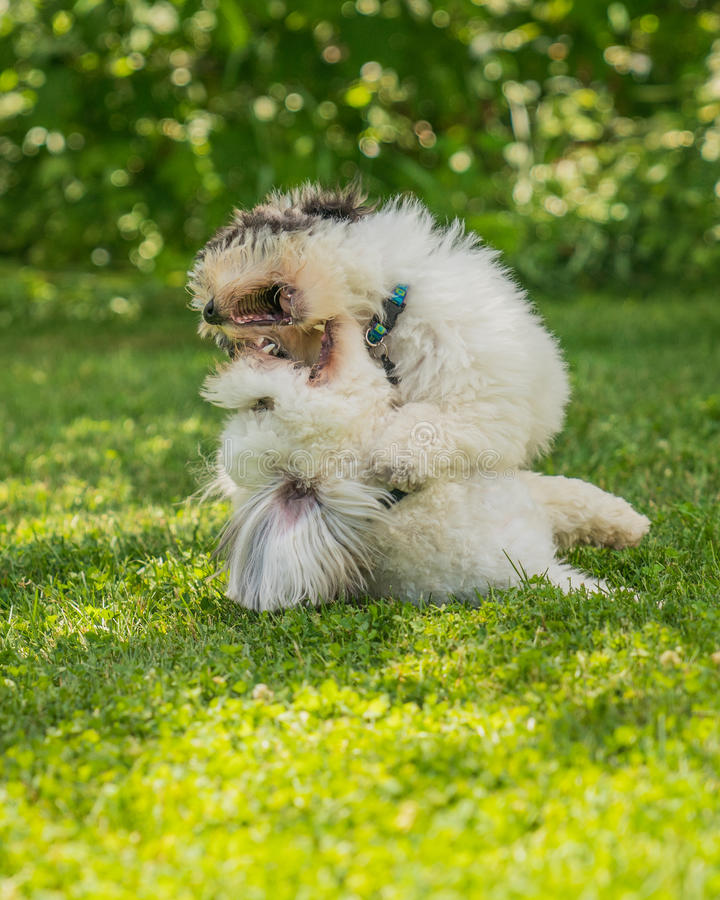 Coton de Tulear terrier puppy in the sun on the grass stock image