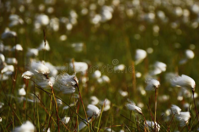 Coton flower on the iceland. Meadow stock image