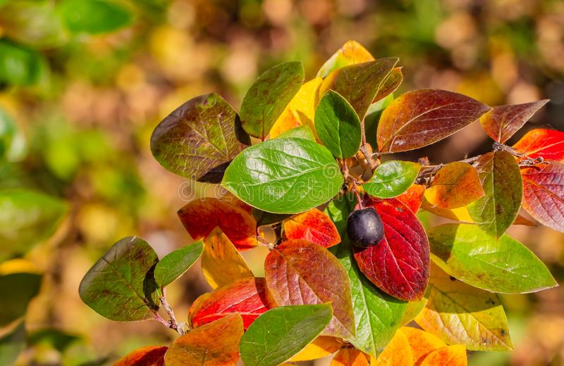 A cotoneaster branch with gold yellow green red leaves and a black berry on a beautiful blur background stock photo