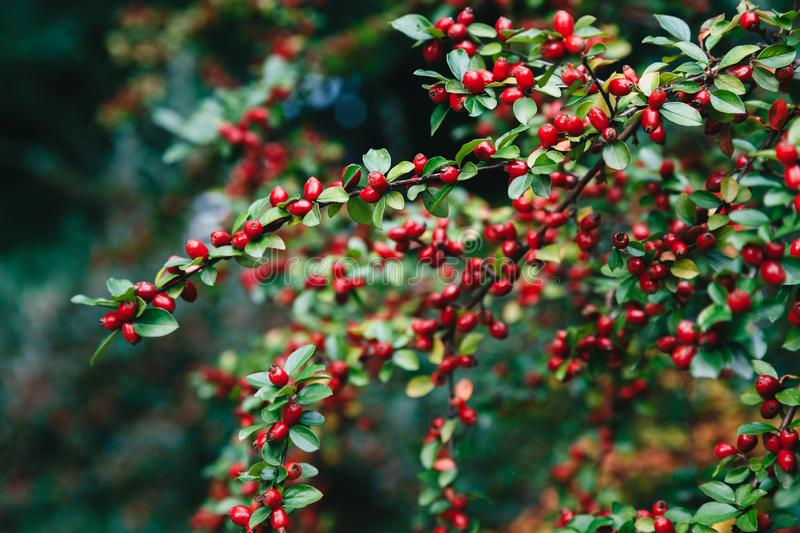 Cotoneaster bush with small red berries and glossy green leaves. stock images