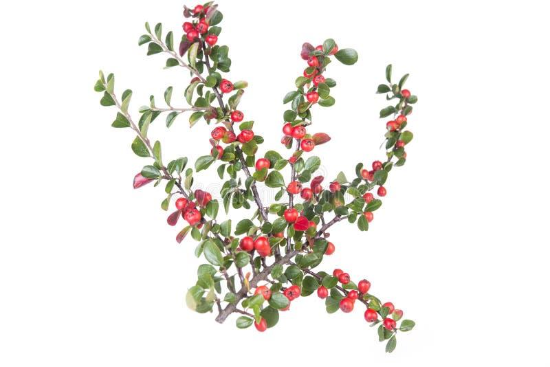 Cotoneaster horizontalis Anlage mit reifen roten Beeren lizenzfreies stockfoto