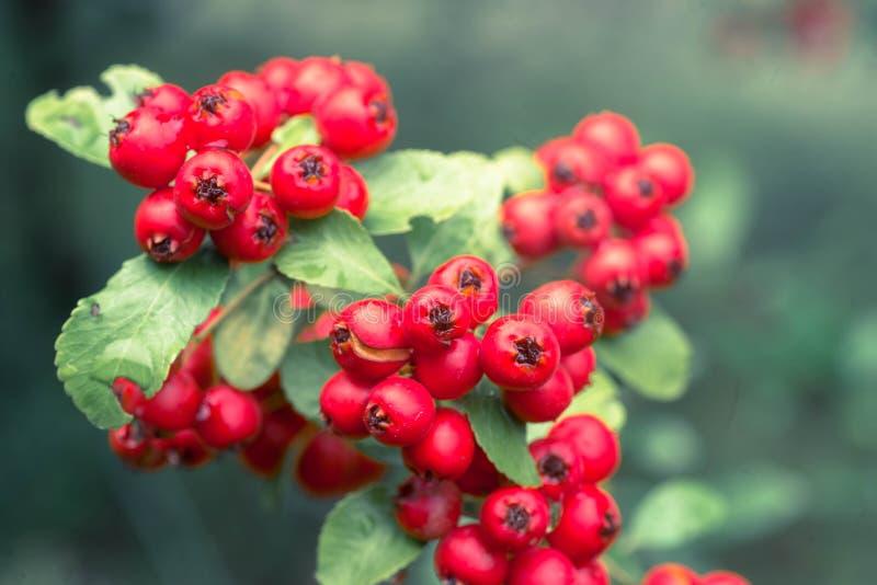 Cotoneaster horizontalis rote Beeren auf Zweigmakro stockfotografie