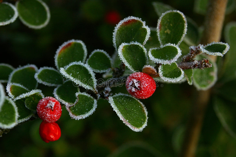 Download Cotoneaster and Ice 01 stock image. Image of limed, icey - 368291