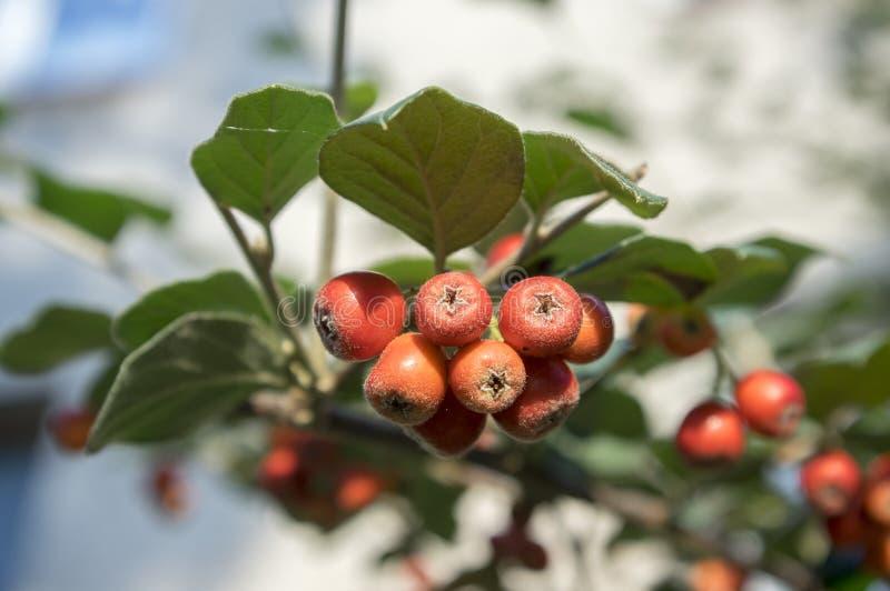 Cotoneaster integerrimus rote Herbstfrüchte und Grünblätter auf Niederlassungen stockfotos