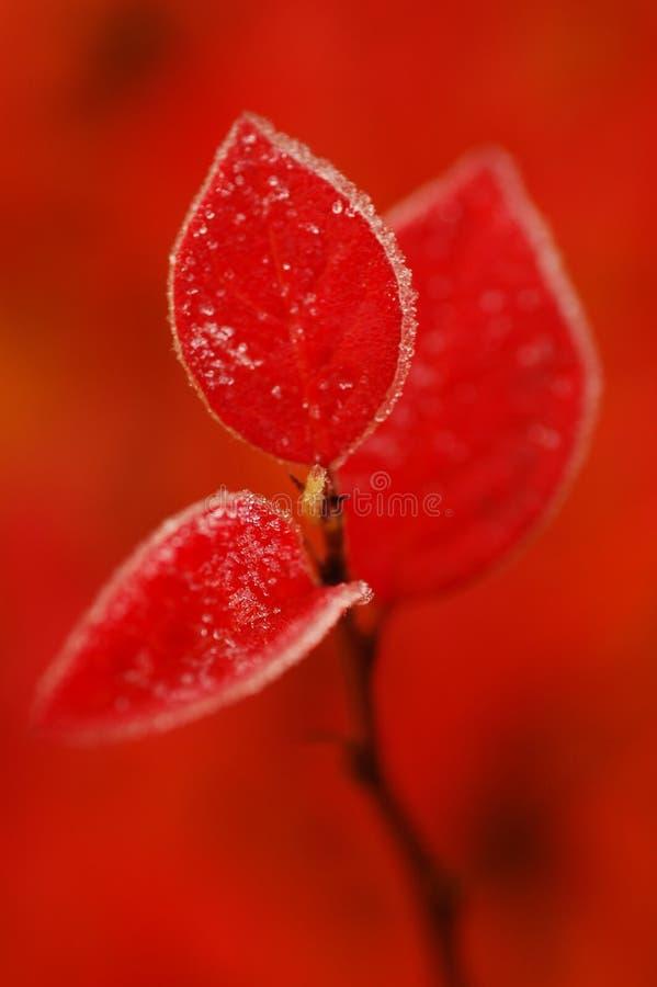 Cotoneaster rojo imagenes de archivo