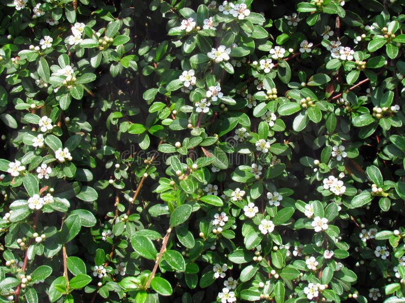 Cotoneaster white flowering shrub in spring, detail of branches, garden ground cover plant stock images