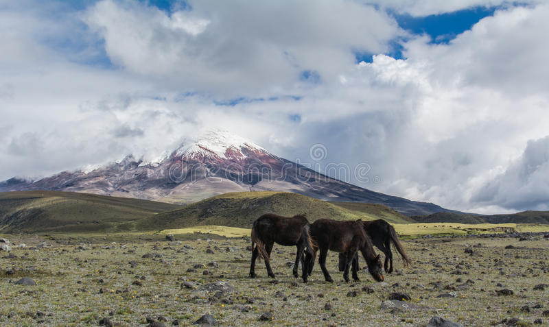 Cotopaxi with horses royalty free stock photography