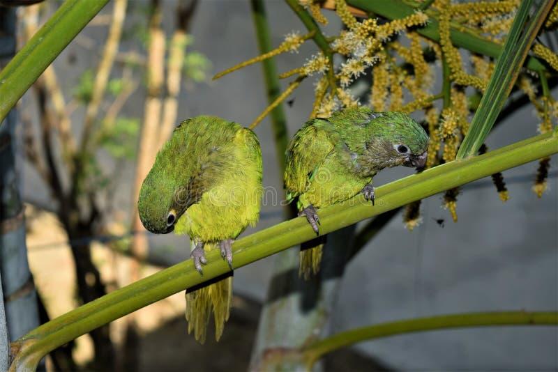 Cotorra, εγγενές πουλί της Κολομβίας στοκ φωτογραφίες