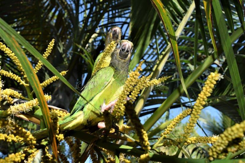 Cotorra, εγγενές πουλί της Κολομβίας στοκ εικόνες
