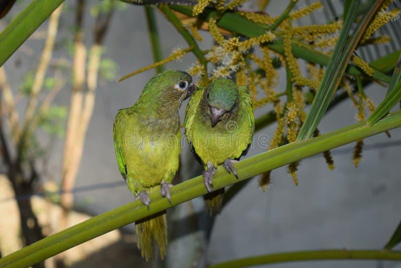 Cotorra, εγγενές πουλί της Κολομβίας στοκ φωτογραφίες με δικαίωμα ελεύθερης χρήσης