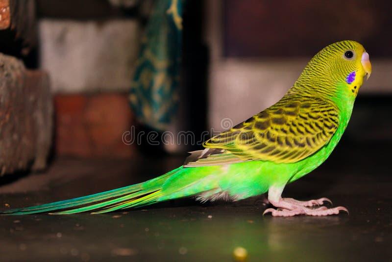 Cotorra rizada verde de la cotorra rizada y amarilla hermosa fotografía de archivo