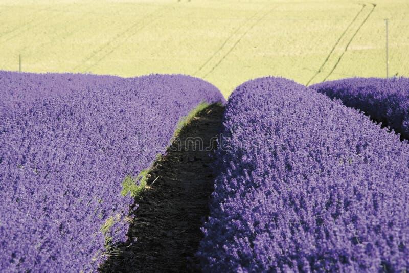 cotswoldslantgården fields gloucester lavendelsnowshill arkivfoton