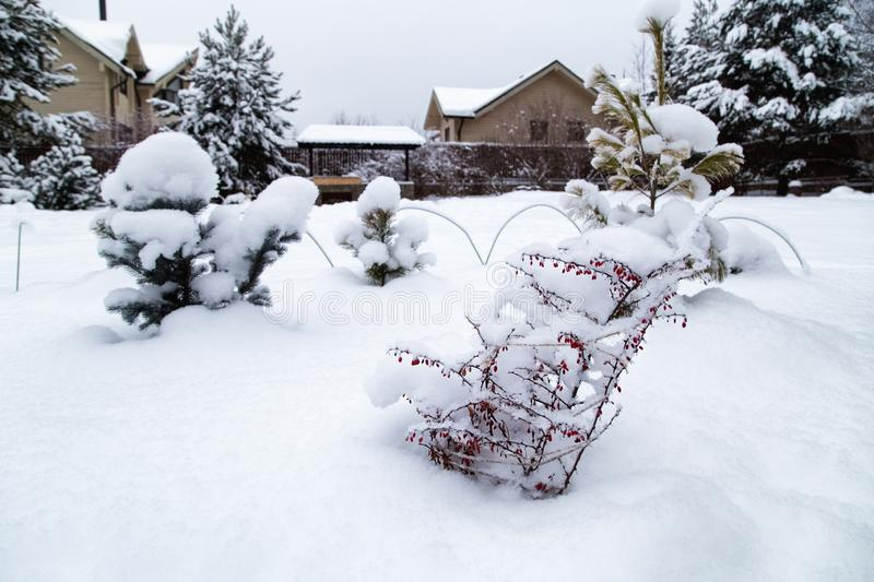 Cottage backyard  with  snowbanks of white snow and snowy pine trees. Barberry bush in winter garden. Snowy cottage garden. Cottage backyard  with  snowbanks of royalty free stock photo
