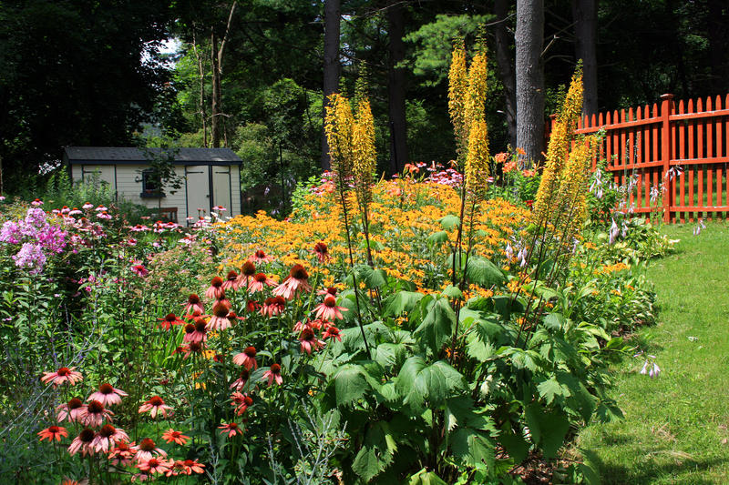 Cottage garden scene. In early summer, with spiky 'rocket' Ligularia przewalskii, coneflowers and rampant phloxes royalty free stock image